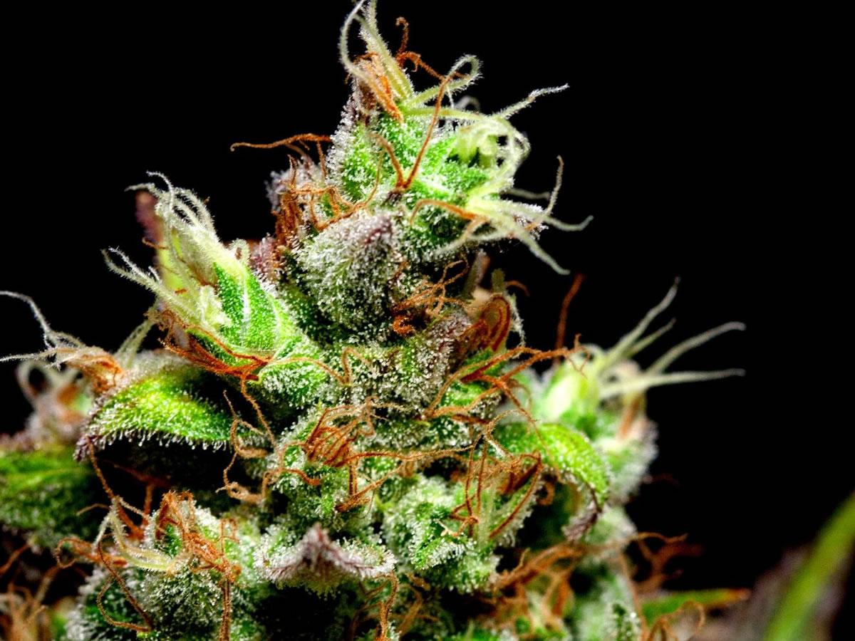 cannabis rich in CBD
