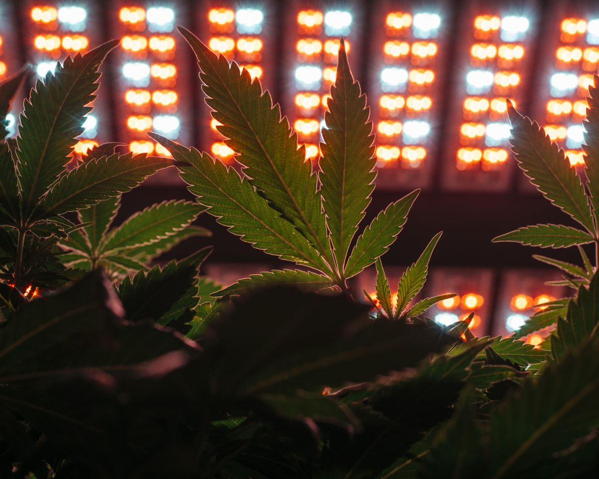 Lighting Systems for Growing Marijuana