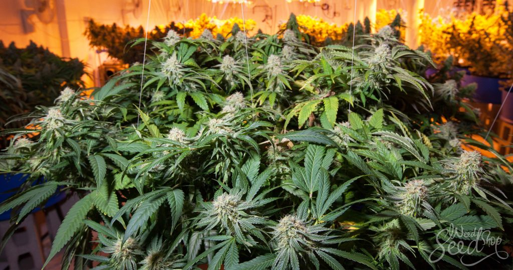 cannabis strains growing weed